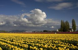 Yellow Tulip Farm Washington Royalty Free Stock Images