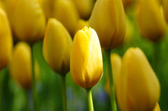 Yellow tulip field Royalty Free Stock Photo