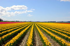 Yellow tulip field Stock Images