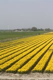 Yellow tulip field. In the netherlands Royalty Free Stock Photography