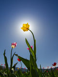 Yellow tulip on field Royalty Free Stock Image