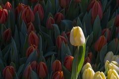 Yellow tulip in the field of many orange tulips Stock Photo