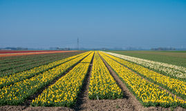 Yellow tulip field in the Netherlands Stock Images