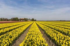 Yellow tulip field in the Noordoostpolder municipality, Flevoland. Netherlands Stock Image