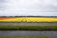 Yellow Tulip field Stock Photography