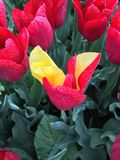 Yellow tulip in field of red Royalty Free Stock Photos