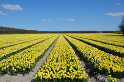 Yellow tulip fields. Fully bloomed on a sunny day Royalty Free Stock Photo
