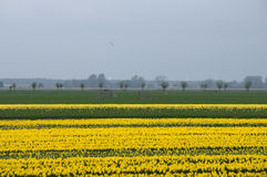 Yellow tulip fields in North Holland Stock Photography