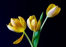 Yellow Tulip Flower Royalty Free Stock Image