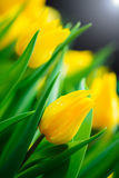 Yellow tulip flower background Stock Photos