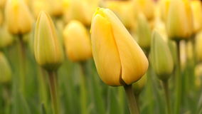 Yellow Tulip Flower stock footage