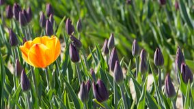 Yellow tulip in flower bed with purple tulips Royalty Free Stock Photography