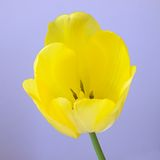 Yellow tulip flower Royalty Free Stock Images