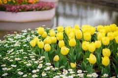 Yellow tulip flower stock photography