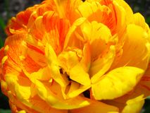 Yellow tulip flower royalty free stock photography