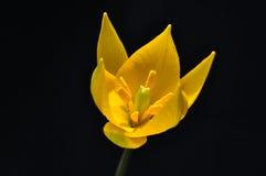 Yellow tulip flower Stock Photo