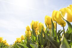 Yellow Tulip Flower Field during Daytime Stock Photo