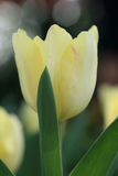 Yellow tulip flower in garden, soft focus Stock Photography