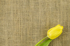 Yellow tulip flower on linen background Royalty Free Stock Photo