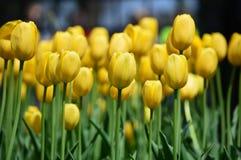 Yellow tulip flower Stock Photos