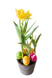 Yellow Tulip in a flower pot with Easter eggs and white background.  Stock Photos