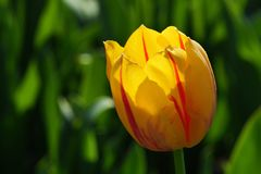 Yellow tulip flower with red vertical stripes on petals, hybrid name Twinkle. In afternoon sunshine royalty free stock photo