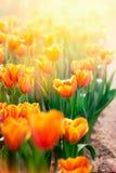 Yellow tulip flower scene Stock Photos