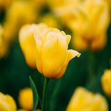 Yellow Tulip Flower In Spring Garden Flower Bed Stock Images