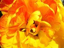 Yellow tulip flower royalty free stock photos