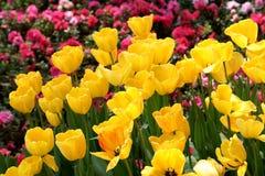 Yellow tulip flowerbed Stock Photos