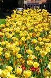 Yellow Tulip Flowerbed, Shrewsbury. Royalty Free Stock Photography