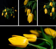 Yellow tulip flowers stock photos