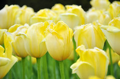 Yellow tulip flowers. Background of yellow tulips with water drops Stock Photos