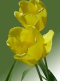 Yellow tulip flowers in bloom Royalty Free Stock Photo