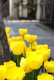 Yellow tulip flowers in bloom. With sidewalk in background Royalty Free Stock Photography