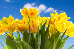 Yellow tulip flowers blue sky Royalty Free Stock Images