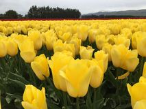 Yellow tulip flowers. A close op shot of a few yellow tulips and plenty more in the background Stock Photography
