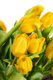 Yellow tulip flowers Royalty Free Stock Photos