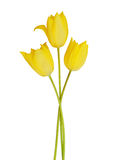 Yellow tulip flowers Stock Photography