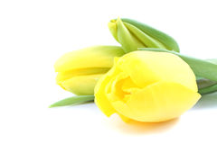 Yellow tulip flowers Royalty Free Stock Photography