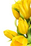 Yellow tulip flowers Stock Images