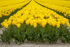 Yellow tulip front. A front view of a field of yellow tulips Royalty Free Stock Photos
