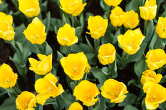 Yellow tulip in garden Royalty Free Stock Photo