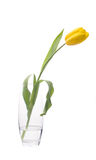 Yellow tulip in glass Royalty Free Stock Photos