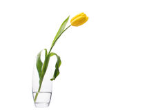 Yellow tulip in glass vase stock photo