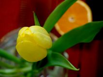 Yellow Tulip in a glass vase Royalty Free Stock Photos