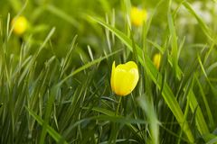 Yellow tulip in the grass. Soft selective focus royalty free stock photography