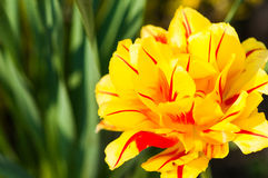 Yellow tulip Royalty Free Stock Photos