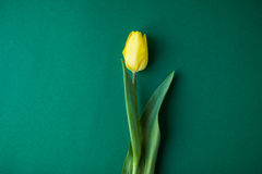 Yellow tulip on green background, romantic blooming card for Birthday, Anniversary, Valentine`s, Mother`s or Woman`s Day. Royalty Free Stock Images