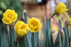 Yellow tulip with green leaves in the background royalty free stock image